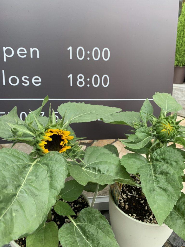 image-植物育てるのが苦手な私が、店先のヒマワリが沢山咲いた理由。 | 【column】植物育てるのが苦手な私が、店先のヒマワリが沢山咲いた理由。 Car Shop Dearsign