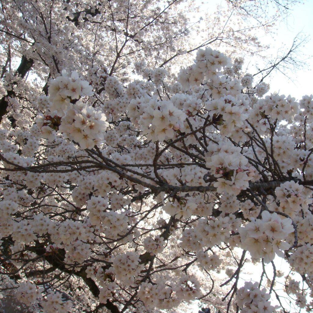 滋賀県内及び近隣地域の桜の名所をご紹介♪