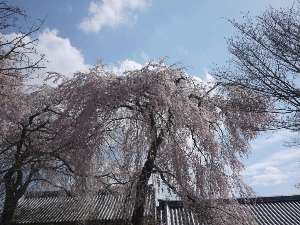 image-滋賀県内及び近隣地域の桜の名所をご紹介♪ | Car Shop Dearsign